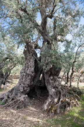 if the Olive Trees knew the hands that planted them, Their Oil would become Tears  ― Mahmoud Darwish